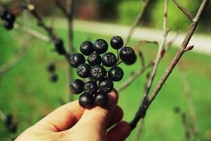 Aronia – une plante médicinale encore peu connue