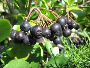 Baies d'aronia bio antioxydantes